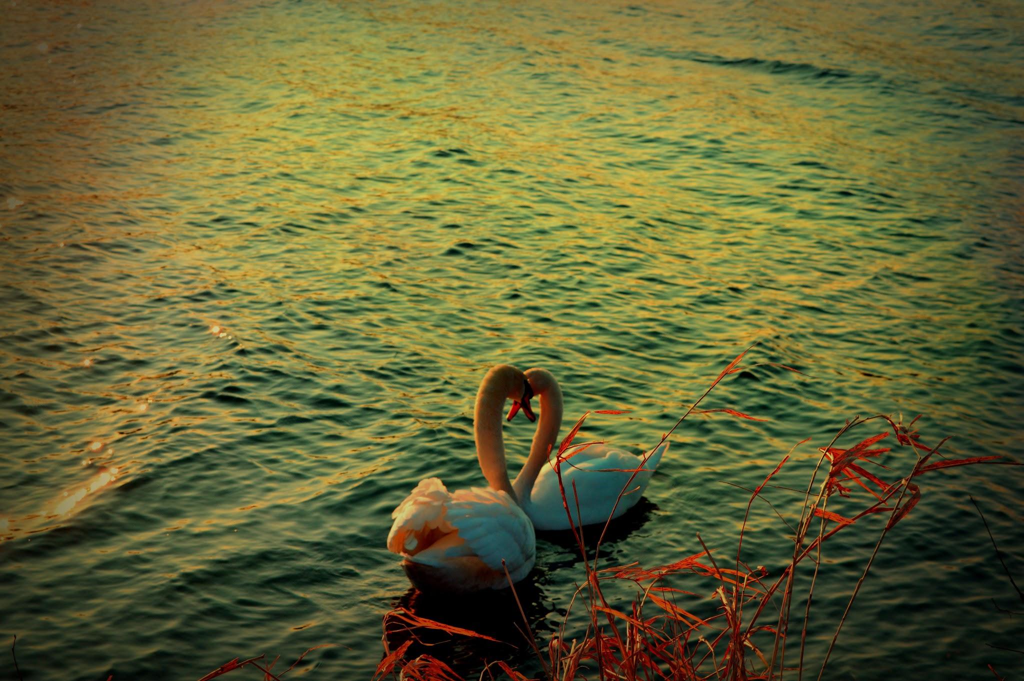 Nad brzegiem Dunaju- labedzie